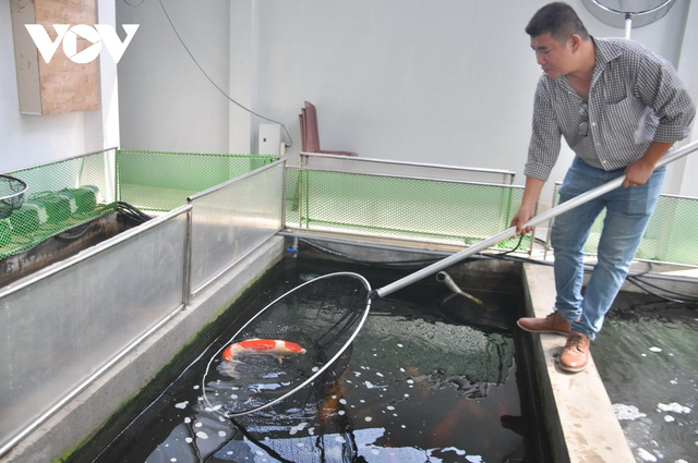 Kiếm tiền tỷ mỗi năm nhờ nuôi và kinh doanh cá Koi  - Ảnh 3.