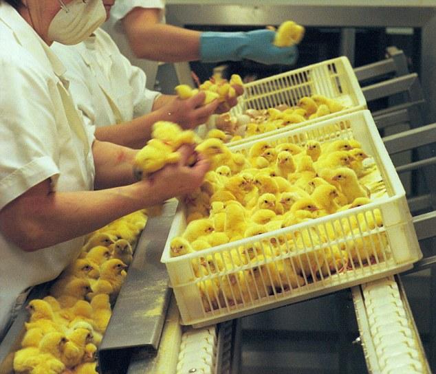 Nước Mỹ treo giải thưởng gấp 5 lần Nobel cho ai nghĩ ra cách cứu sống 7 tỷ con gà trống mỗi năm - Ảnh 1.
