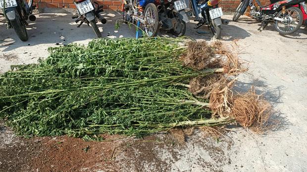 Phát hiện một người nước ngoài trồng hơn 400 cây cần sa - Ảnh 2.