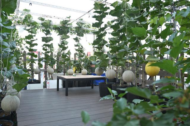 Ngắm vườn dưa lưới trên sân thượng khiến vạn người mê giữa lòng thành phố: Chẳng cần nhà to, nội thất sang trọng, khu vườn xanh mát này là đủ để ai cũng ước ao! - Ảnh 2.