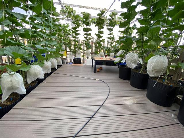 Ngắm vườn dưa lưới trên sân thượng khiến vạn người mê giữa lòng thành phố: Chẳng cần nhà to, nội thất sang trọng, khu vườn xanh mát này là đủ để ai cũng ước ao! - Ảnh 7.