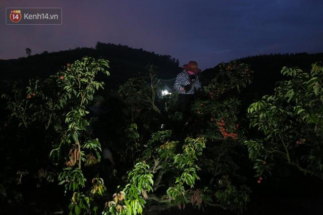 Ảnh: Người dân Bắc Giang thắp đèn từ 2 giờ sáng, đi thu hoạch vải thiều xuyên đêm  - Ảnh 3.
