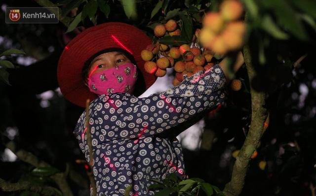 Ảnh: Người dân Bắc Giang thắp đèn từ 2 giờ sáng, đi thu hoạch vải thiều xuyên đêm  - Ảnh 5.