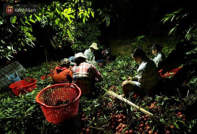 Ảnh: Người dân Bắc Giang thắp đèn từ 2 giờ sáng, đi thu hoạch vải thiều xuyên đêm  - Ảnh 10.