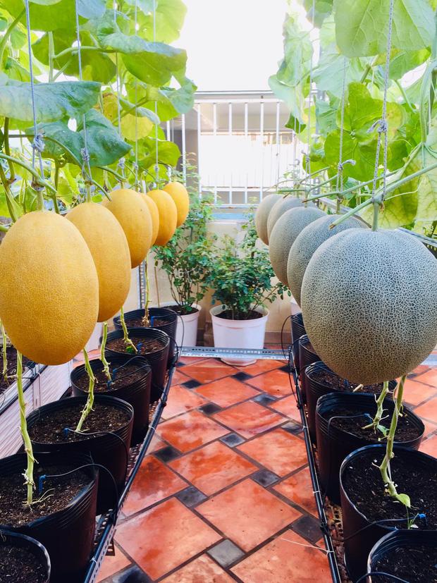 Cô gái phù phép sân thượng thành vườn dưa sai trĩu quả, quả nào quả nấy múp míp thấy mê - Ảnh 6.