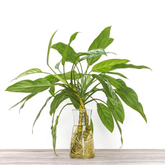 12 loại cây cảnh được NASA gợi ý nên trồng trong nhà để lọc không khí và cải thiện sức khỏe  - Ảnh 4.