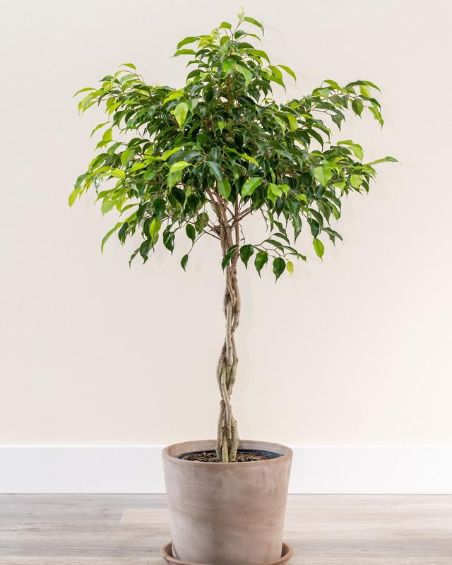 12 loại cây cảnh được NASA gợi ý nên trồng trong nhà để lọc không khí và cải thiện sức khỏe  - Ảnh 6.