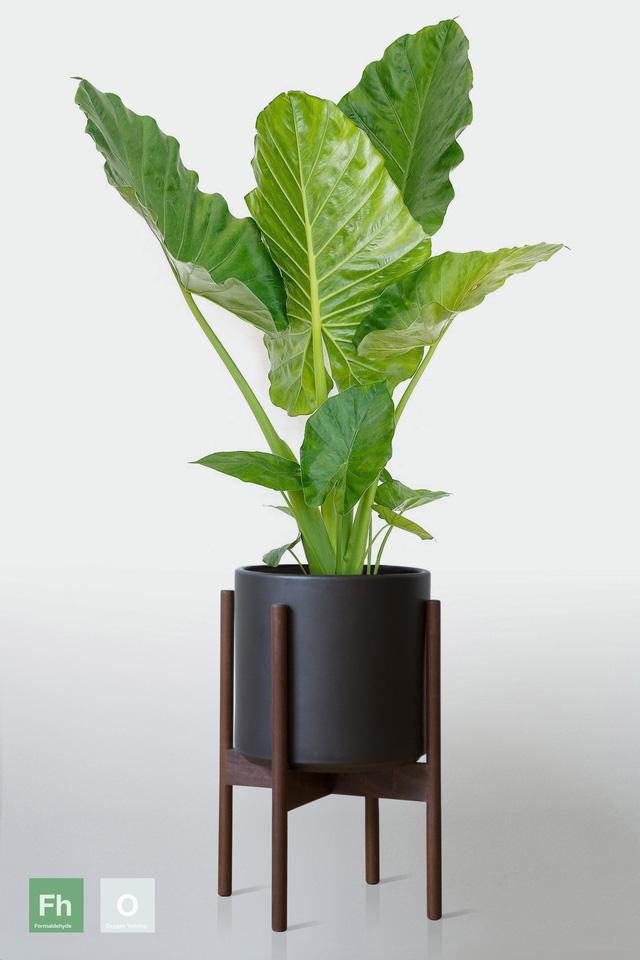 12 loại cây cảnh được NASA gợi ý nên trồng trong nhà để lọc không khí và cải thiện sức khỏe  - Ảnh 9.