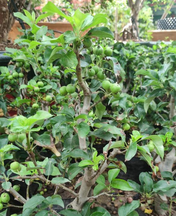 Thi chăm cây táo Mỹ, 12 hộ dân ở TP.HCM trong khu cách ly được tạo điều kiện để tâm lí không bí bách - Ảnh 2.