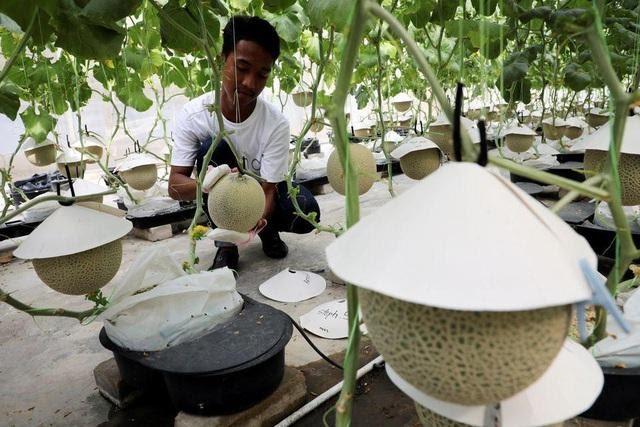 Thấy quá đắt khi phải chi 200 USD cho quả dưa lưới giống Nhật, 3 người nông dân Malaysia mày mò cách trồng và đã thành công: Dưa được thư giãn bằng nhạc cổ điển, mát-xa mỗi ngày - Ảnh 3.