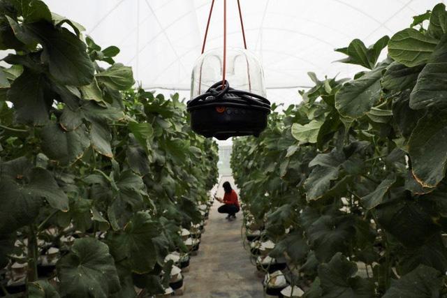 Thấy quá đắt khi phải chi 200 USD cho quả dưa lưới giống Nhật, 3 người nông dân Malaysia mày mò cách trồng và đã thành công: Dưa được thư giãn bằng nhạc cổ điển, mát-xa mỗi ngày - Ảnh 5.
