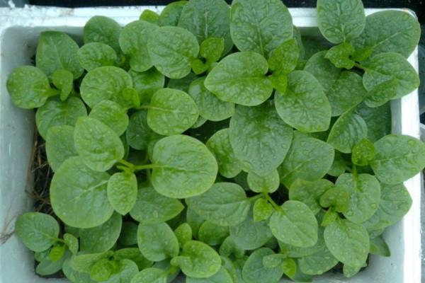 Có mặt thường xuyên trên mâm cơm gia đình, nhưng ít ai biết khả năng chữa bệnh kỳ diệu của loại rau này - Ảnh 3.