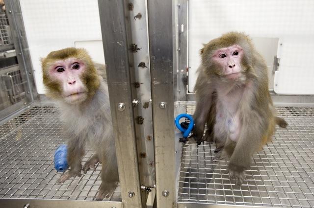 Những con khỉ đã tham gia vào nghiên cứu này 26 năm