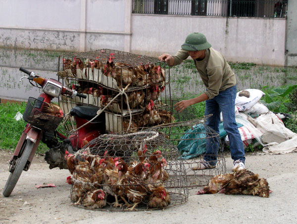 Gà thải loại Trung Quốc vẫn được nhập về Việt Nam với số lượng cả trăm ngàn tấn mỗi năm