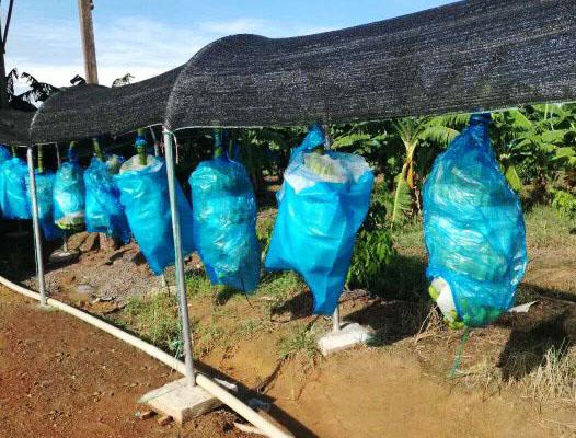 Hoàng Anh Gia Lai bắt đầu thu hoạch chuối, chuẩn bị phân phối qua hệ thống Bách Hóa Xanh - Ảnh 1.
