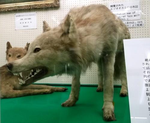 Những gì còn lại của loài sói Hokkaido là ở trong viện bảo tàng.