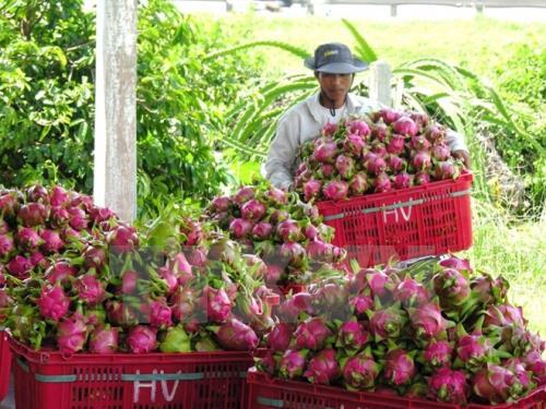 Thanh long sẽ là trái cây đem lại nguồn thu lớn nhất cho Việt Nam? - Ảnh 1.