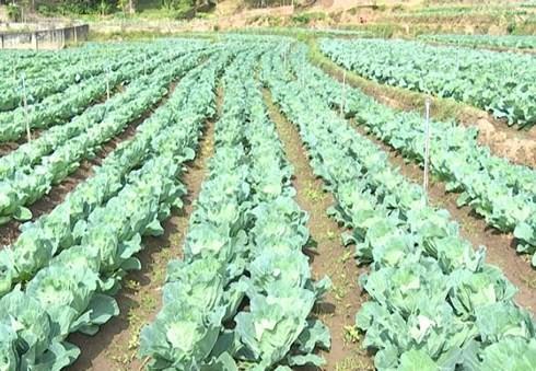 Hiện tại khu trang trại trồng rau của Giàng A Dạy có diện tích khoảng 4 ha. (Ảnh: KT)