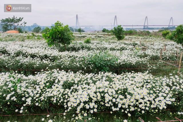 Đằng sau những gánh cúc họa mi trên phố Hà Nội là nỗi niềm của người nông dân Nhật Tân: Không còn sức nữa, phải bỏ hoa về nhà!  - Ảnh 1.