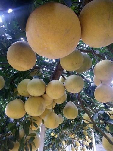Xem một vàih người dân làm giàu từ trồng bưởi vàng ruột đỏ - Ảnh 1.