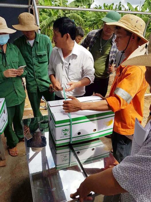 Hoàng Anh Gia Lai bắt đầu thu hoạch chuối, chuẩn bị phân phối qua hệ thống Bách Hóa Xanh - Ảnh 11.