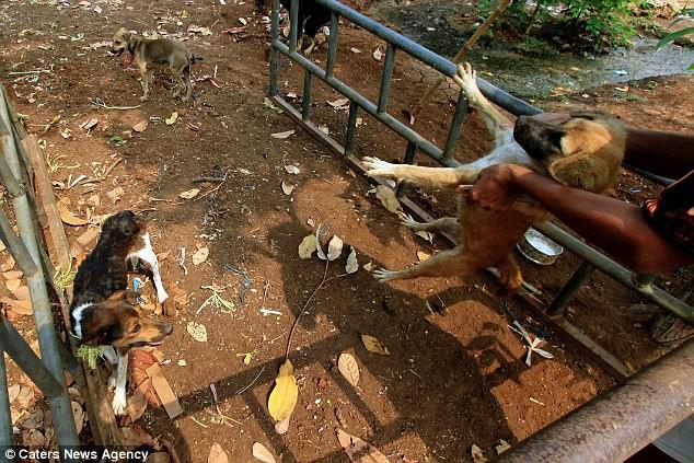 Hình ảnh rùng rợn trong những trang trại thịt chó: Nỗi đau của những chú chó phải chứng kiến cái chết của đồng loại - Ảnh 11.