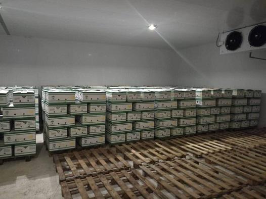 Hoàng Anh Gia Lai bắt đầu thu hoạch chuối, chuẩn bị phân phối qua hệ thống Bách Hóa Xanh - Ảnh 13.
