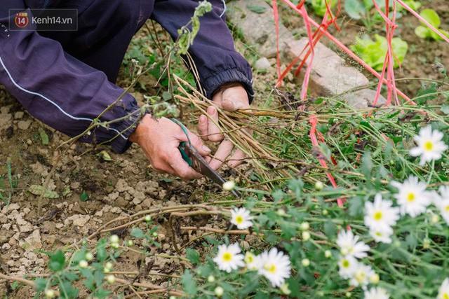 Đằng sau những gánh cúc họa mi trên phố Hà Nội là nỗi niềm của người nông dân Nhật Tân: Không còn sức nữa, phải bỏ hoa về nhà!  - Ảnh 3.