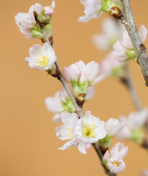 Năm nay nhiều người chọn hoa Anh Đào có xuất xứ từ Nhật Bản để trưng, biếu Tết