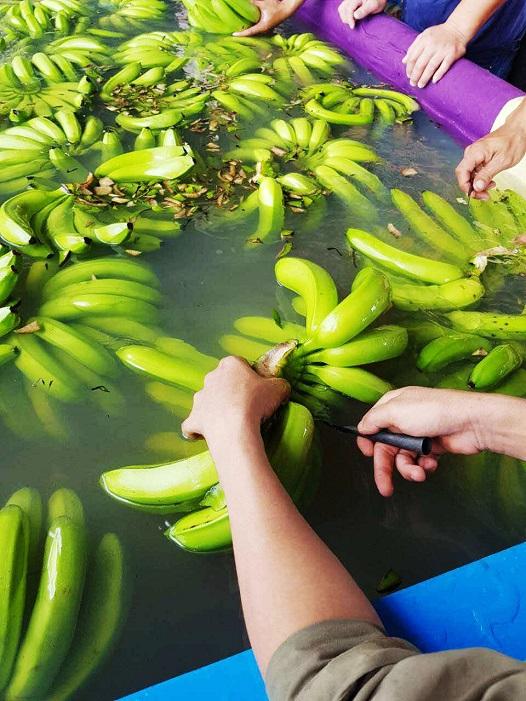 Hoàng Anh Gia Lai bắt đầu thu hoạch chuối, chuẩn bị phân phối qua hệ thống Bách Hóa Xanh - Ảnh 4.