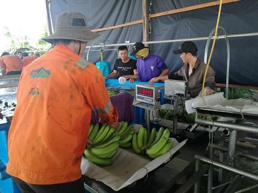 Hoàng Anh Gia Lai bắt đầu thu hoạch chuối, chuẩn bị phân phối qua hệ thống Bách Hóa Xanh - Ảnh 5.