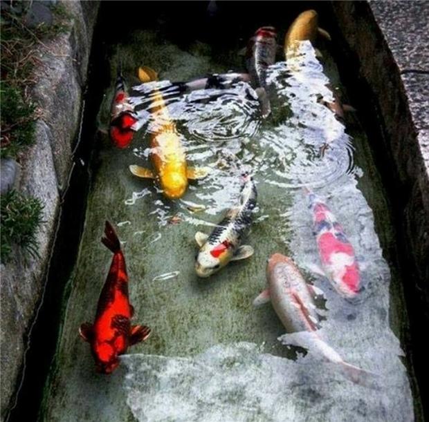 Sở dĩ rãnh nước nuôi cá Koi không được để rong tảo là vì nếu rong tảo phát triển quá nhiều sẽ hút hết nồng độ oxy trong nước, làm cá nghẹt thở.
