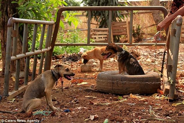 Hình ảnh rùng rợn trong những trang trại thịt chó: Nỗi đau của những chú chó phải chứng kiến cái chết của đồng loại - Ảnh 5.