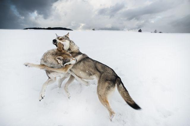 Niềm vui của hai chú chó Sarloos sau khi được thả. (Nguồn: NatGeo)