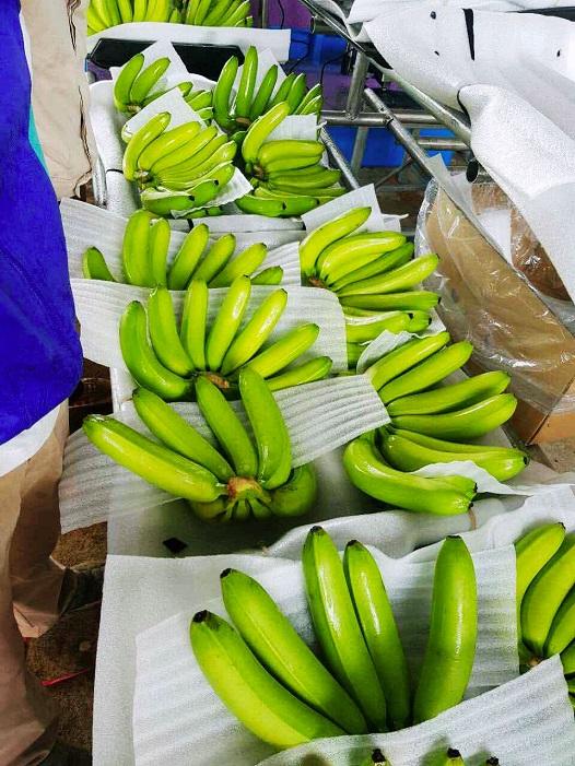 Hoàng Anh Gia Lai bắt đầu thu hoạch chuối, chuẩn bị phân phối qua hệ thống Bách Hóa Xanh - Ảnh 6.