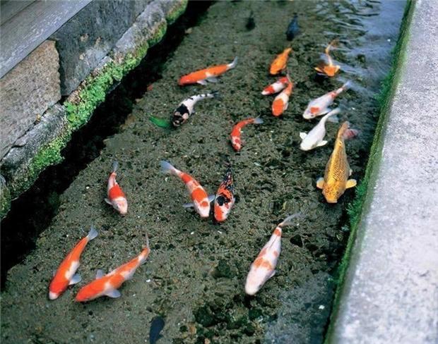 Nhưng điều kiện tiên quyết để nuôi cá Koi đó là nguồn nước phải thật sạch, không có rác, rêu.