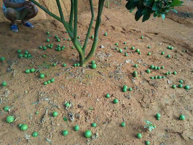 Xem một vàih người dân làm giàu từ trồng bưởi vàng ruột đỏ - Ảnh 5.