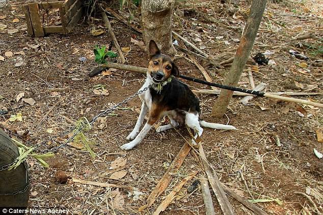 Hình ảnh rùng rợn trong những trang trại thịt chó: Nỗi đau của những chú chó phải chứng kiến cái chết của đồng loại - Ảnh 6.