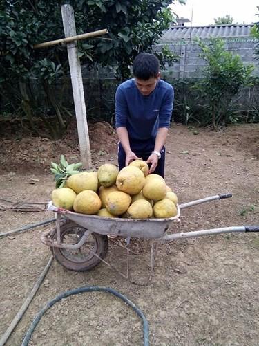 Xem một vàih người dân làm giàu từ trồng bưởi vàng ruột đỏ - Ảnh 6.