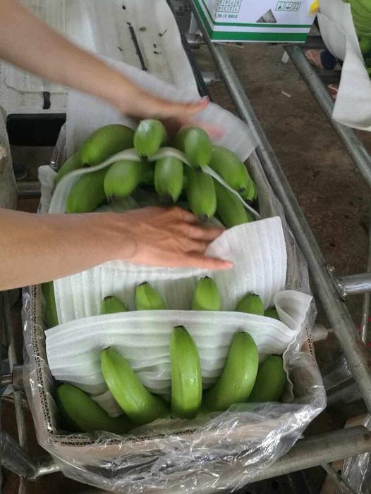 Hoàng Anh Gia Lai bắt đầu thu hoạch chuối, chuẩn bị phân phối qua hệ thống Bách Hóa Xanh - Ảnh 8.