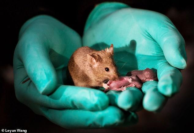 Các nhà khoa học Trung Quốc tạo ra được chuột con từ 2 con chuột cái, không cần đến con đực - Ảnh 1.