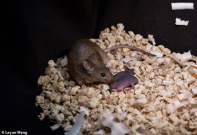 Các nhà khoa học Trung Quốc tạo ra được chuột con từ 2 con chuột cái, không cần đến con đực - Ảnh 3.