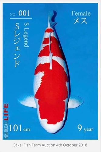 Ngắm cá Koi đắt nhất thế giới giá gần 42 tỷ đồng - Ảnh 2.