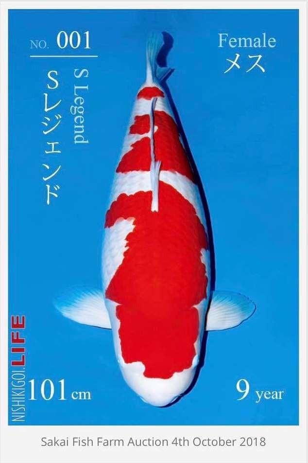 Đây là nữ hoàng cá Koi đắt nhất thế giới với giá gần 42 tỷ đồng - Ảnh 1.