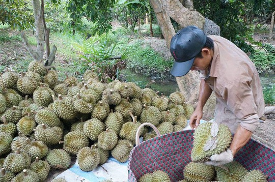 The absence of traders to buy durian, Western farmers worry - Photo 1.