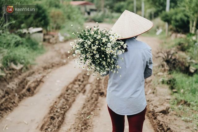 Cúc hoạ mi vào vụ mùa, nông dân Hà Nội hớn hở chào mừng khách đến mua hoa và chụp ảnh - Ảnh 8.