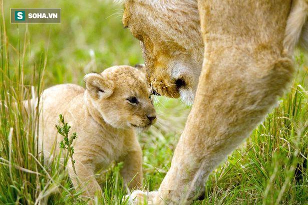Xúc động cảnh sư tử mẹ lưu luyến rời bỏ đứa con bị trúng độc của mình để bảo vệ đàn - Ảnh2