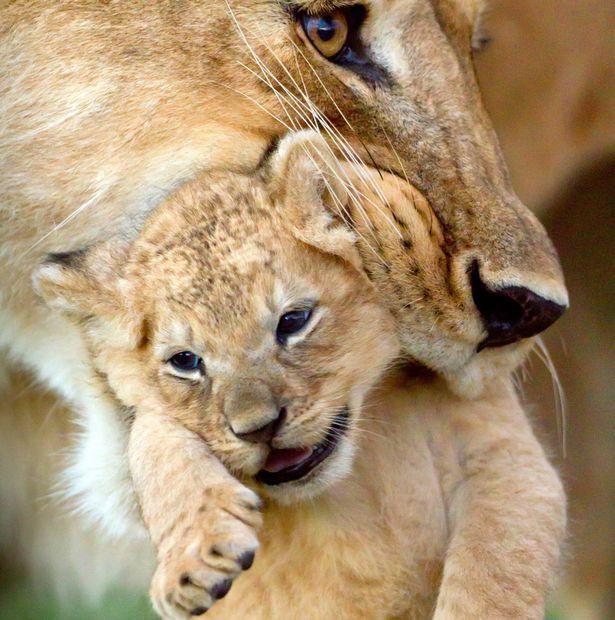 Xúc động cảnh sư tử mẹ lưu luyến rời bỏ đứa con bị trúng độc của mình để bảo vệ đàn.3