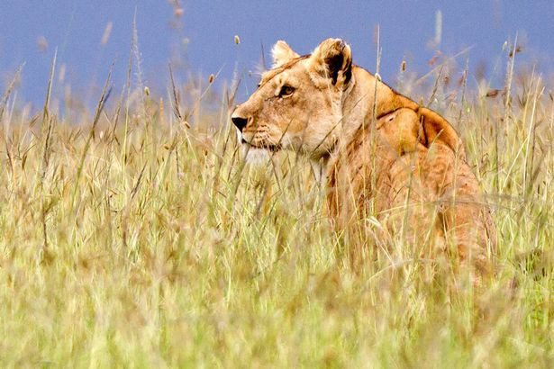 Xúc động cảnh sư tử mẹ lưu luyến rời bỏ đứa con bị trúng độc của mình để bảo vệ đàn.4