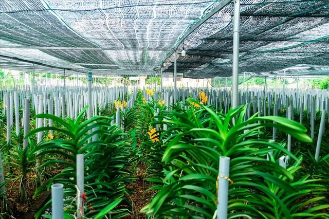 Ngắm vườn lan mokara lãi 2 tỉ đồng/năm của nam thanh niên Đà Nẵng  - Ảnh 1.